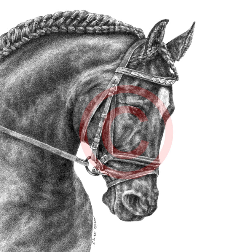Dressage horse pencil portrait by Kelli Swan