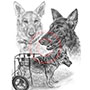 Pencil Portrait Drawing of German Shepherds Handicapped Dog