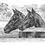 Custom pencil drawing of two horses