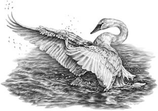 White Swan Pencil Drawing by Kelli Swan