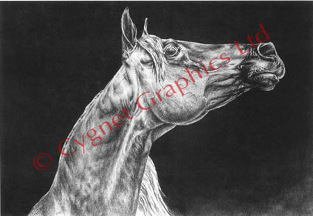 """Attitude"" Arabian horse drawing by Kelli Swan"