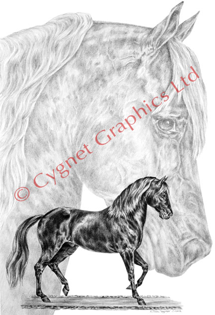 """Fine Steps"" Paso Fino horse drawing by Kelli Swan"