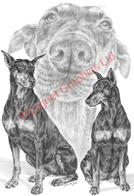 Doberman pinscher dog montage - pencil drawing by Kelli Swan