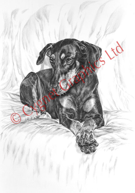 Doberman with paws crossed - pencil drawing by Kelli Swan