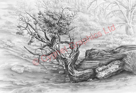 """Found by Courthouse Butte"" southwest Juniper Tree drawing by Kelli Swan"