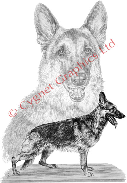 German Shepherd Dogs - pencil drawing by Kelli Swan