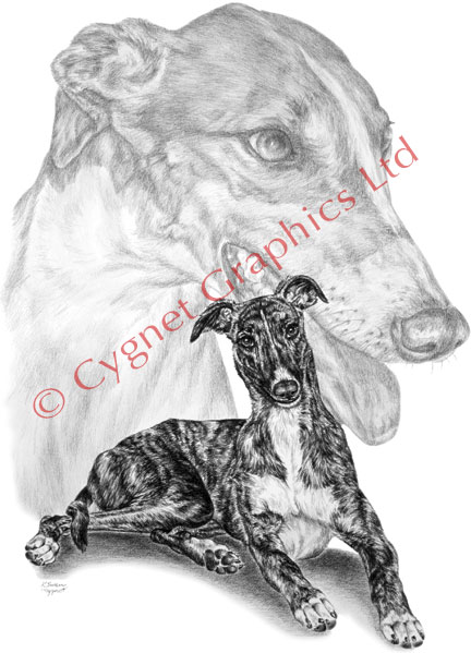 Greyhound dog portrait - pencil drawing by Kelli Swan
