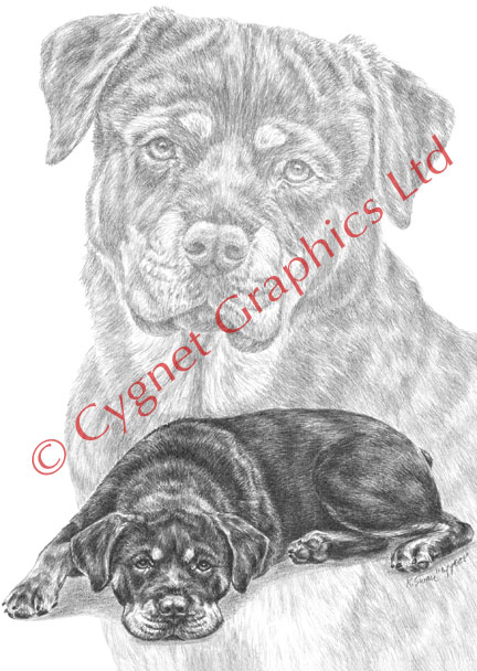Rottweiler dog portrait - pencil drawing by Kelli Swan
