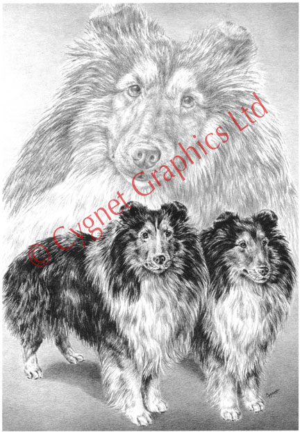 Black and White Sheltie illustration - pencil drawing by Kelli Swan