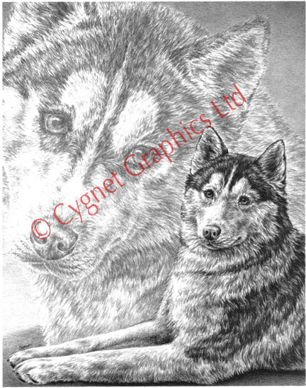 Siberian Husky Dogs - pencil drawing by Kelli Swan