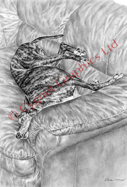 Greyhound on Couch Sofa - pencil drawing by Kelli Swan