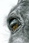 horse eye closeup pencil drawing